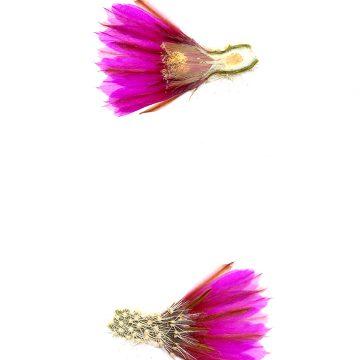 HMAO-003-0426 - Echinocereus engelmannii, USA, Arizona, Seligman-Kingman