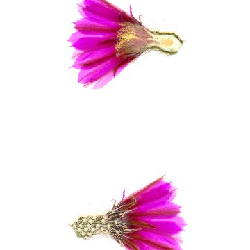 HMAO-003-0427 - Echinocereus engelmannii, USA, Arizona, Seligman-Kingman