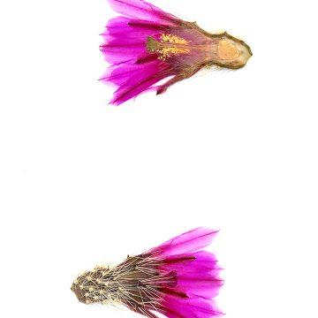 HMAO-003-0428 - Echinocereus llanuraensis, Mexico, Sonora, Cerro el Tordillo