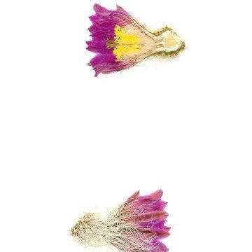 HMAO-003-0450 - Echinocereus delaetii, Mexico, Coahuila, Las Coloradas