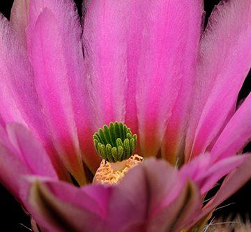 Echinocereus dasyacanthus, USA, Texas, Ft. Stockton