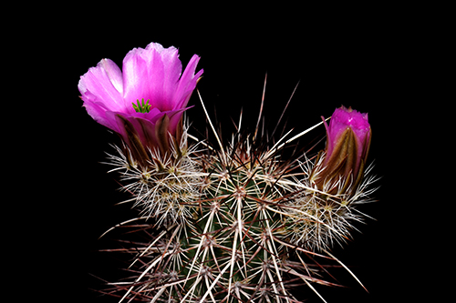 Echinocereus engelmannii, USA, Utah, Hurricane Cliffs