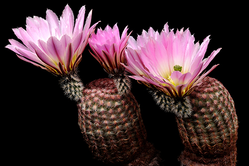 Echinocereus pectinatus, Mexico, Chihuahua, General Trias