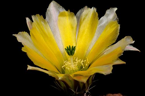 Echinocereus pectinatus subsp. rutowiorum, Mexico, Chihuahua, Cumbres de Majalca