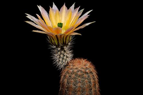 Echinocereus dasyacanthus, USA, Texas, Brewster Co., Lajitas