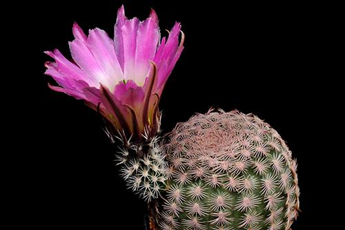 Echinocereus pectinatus, Mexico, Chihuahua, Jiminez