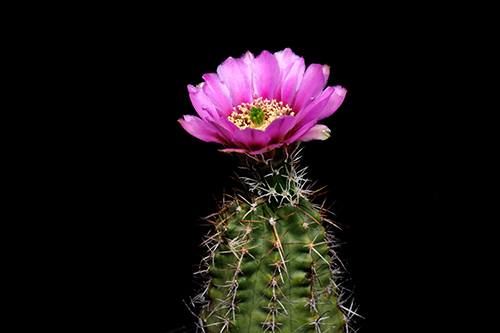 Echinocereus fendleri, USA, New Mexico, Taos