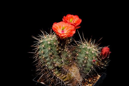 Echinocereus coccineus, USA, New Mexico, Manzano Mts.