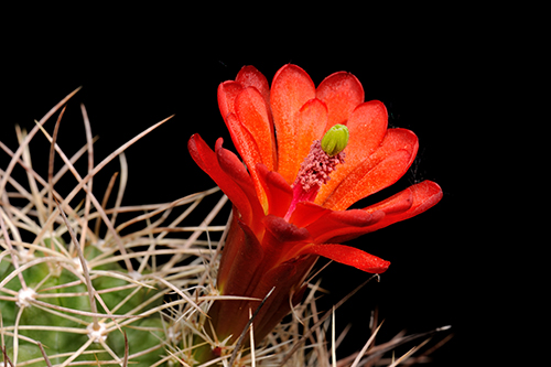Echinocereus mojavensis, USA, Arizona, Canyon de Chelly