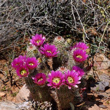 Echinocereus in Habitat - Echinocereus bonkerae, USA, Arizona, Gila County