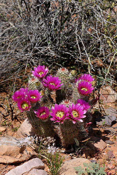 Echinocereus in Habitat - Echinocereus bonkerae, USA, Arizona, Gila County
