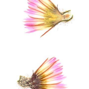 HMAO-003-0475 - Echinocereus pectinatus, Mexico, Durango, Nieves-Rodeo