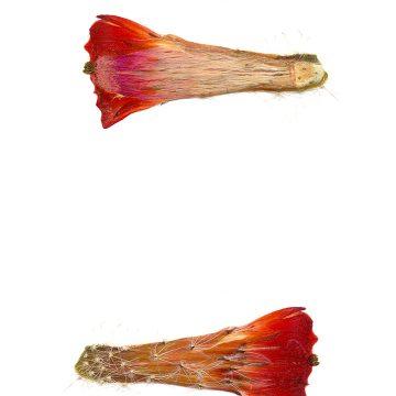 HMAO-003-0476 - Echinocereus salm-dyckianus, Mexico, Chihuahua, Creel-Divisadero
