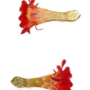 HMAO-003-0477 - Echinocereus salm-dyckianus, Mexico, Chihuahua, Creel-Divisadero
