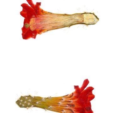 HMAO-003-0478 - Echinocereus salm-dyckianus, Mexico, Chihuahua, Creel-Divisadero