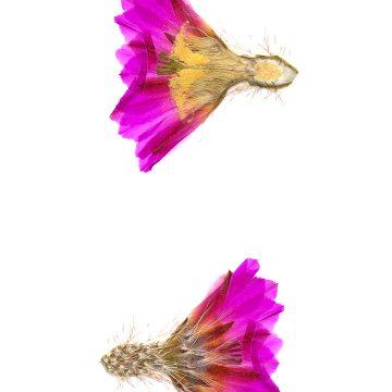HMAO-003-0479 - Echinocereus pentalophus leonensis, Mexico, Coahuila, Las Vigas