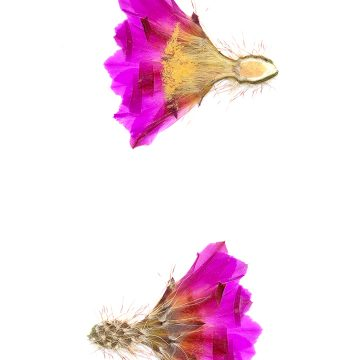HMAO-003-0480 - Echinocereus pentalophus leonensis, Mexico, Coahuila, Las Vigas