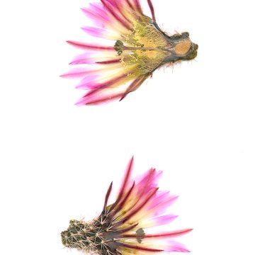 HMAO-003-0481 - Echinocereus pectinatus, Mexico, Nuevo Leon, San Roberto