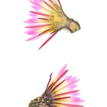 HMAO-003-0482 - Echinocereus pectinatus, Mexico, Nuevo Leon, San Roberto