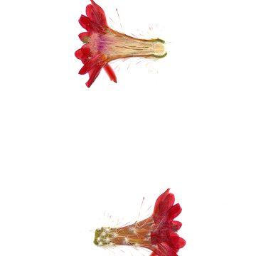 HMAO-003-0510 - Echinocereus polyacanthus, Mexico, Chihuahua, Balleza-Guachochic