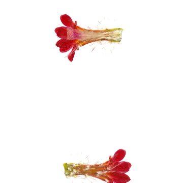 HMAO-003-0511 - Echinocereus polyacanthus, Mexico, Chihuahua, Balleza-Guachochic
