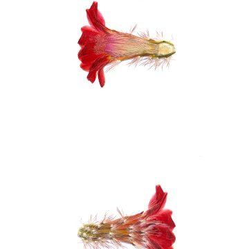 HMAO-003-0512 - Echinocereus polyacanthus durangesis, Mexico, Durango, La Punta