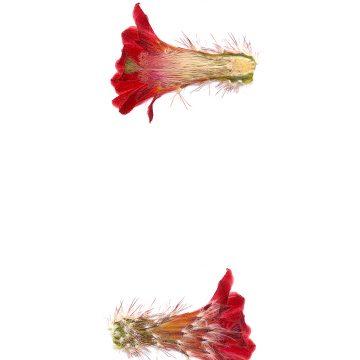 HMAO-003-0513 - Echinocereus polyacanthus durangesis, Mexico, Durango, La Punta
