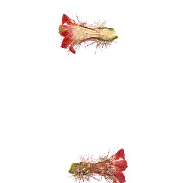 HMAO-003-0514 - Echinocereus polyacanthus durangesis, Mexico, Durango, La Punta