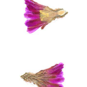 HMAO-003-0516 - Echinocereus stramineus, Mexico, Coahuila, Laguna de Viesca