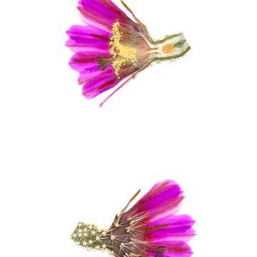 HMAO-003-0535 - Echinocereus engelmannii decumbens, USA, Arizona, Flagstaff-Page