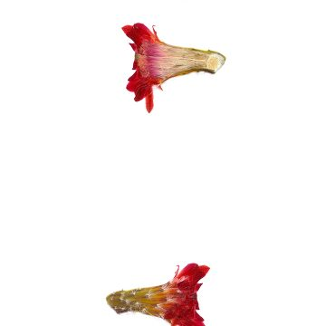 HMAO-003-0537 - Echinocereus polyacanthus, Mexico, Chihuahua, Basaseachic