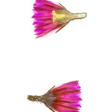 HMAO-003-0541 - Echinocereus fendleri, Mexico, Chihuahua, Pacheco