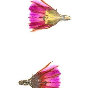 HMAO-003-0542 - Echinocereus fendleri, Mexico, Chihuahua, Pacheco