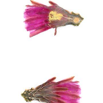 HMAO-003-0543 - Echinocereus enneacanthus, Mexico, Coahuila, El Sol