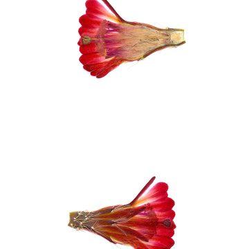 HMAO-003-0568 - Echinocereus mojavensis, USA, Utah, Ponderosa