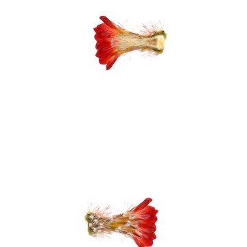 HMAO-003-0571 - Echinocereus polyacanthus, Mexico, Durango, Durango-Mazatlan