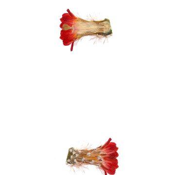 HMAO-003-0572 - Echinocereus polyacanthus, Mexico, Durango, Durango-Mazatlan