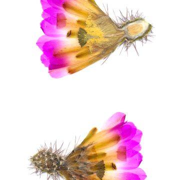 HMAO-003-0573 - Echinocereus pentalophus, Mexico, San Luis Potosi, Guadalcasar