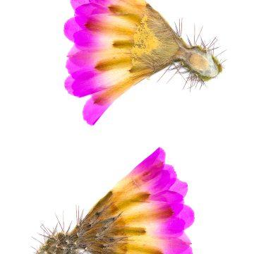 HMAO-003-0574 - Echinocereus pentalophus, Mexico, San Luis Potosi, Guadalcasar
