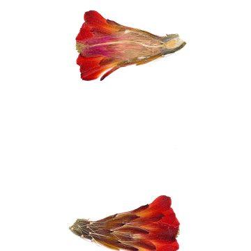 HMAO-003-0575 - Echinocereus mojavensis, USA, Arizona, Pipe Springs