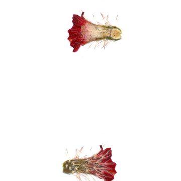 HMAO-003-0605 - Echinocereus polyacanthus, Mexico, Chihuahua, Balleza-Guachochic