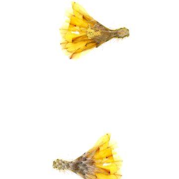 HMAO-003-0606 - Echinocereus subinermis ochoterenae, Mexico, Sinaloa, Matatan