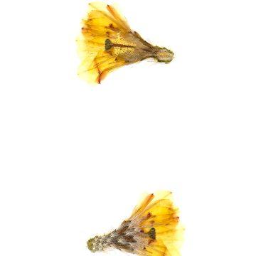 HMAO-003-0607 - Echinocereus subinermis ochoterenae, Mexico, Sinaloa, Matatan