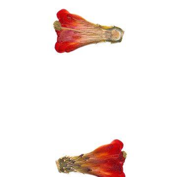 HMAO-003-0609 - Echinocereus mojavensis, USA, California, Big Bear Lake