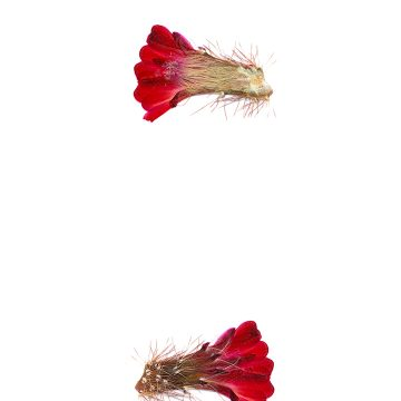 HMAO-003-0611 - Echinocereus spec., USA, Utah, Hurricane-Virgin