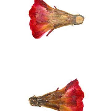 HMAO-003-0612 - Echinocereus coccineus, USA, Arizona, Pima Point