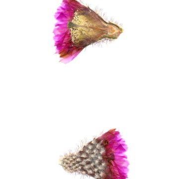 HMAO-003-0631 - Echinocereus reichenbachii perbellus, USA, Texas, Ft. Chadbourne