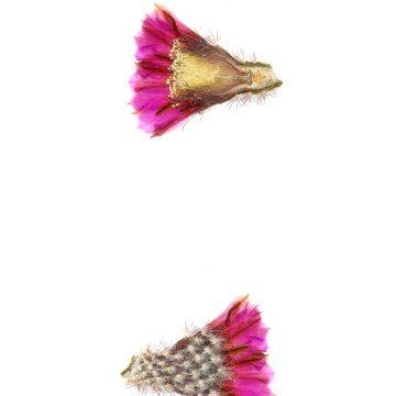 HMAO-003-0632 - Echinocereus reichenbachii perbellus, USA, Texas, Ft. Chadbourne
