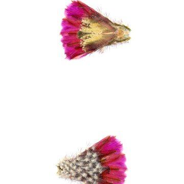 HMAO-003-0633 - Echinocereus reichenbachii perbellus, USA, Texas, Ft. Chadbourne