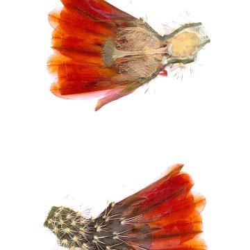 HMAO-003-0636 - Echinocereus xlloydii, USA, Texas, Bakersfield